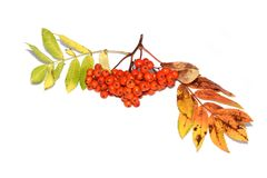 Bright orange colored rowanberries on white. Branch with orange Rowanberries from mountain ash Sorbus aucuparia royalty free stock images