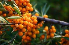 Branch of orange sea buckthorn berries Stock Photos