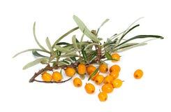 Branch of orange seabuckthorn Stock Photo