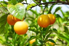 Branch orange tree Royalty Free Stock Images