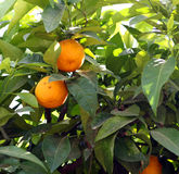 Branch of orange tree Royalty Free Stock Image