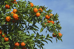 Orange tree. Branch of an orange tree against blue sky Stock Photo