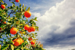 Branch orange tree. Stock Image
