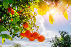 Branch orange tree. Royalty Free Stock Images