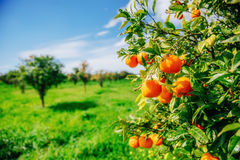Branch orange tree. Royalty Free Stock Image
