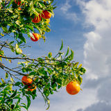 Branch orange tree. Royalty Free Stock Photo