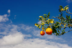 Branch orange tree. Beauty world. Sicily Italy Europe. Royalty Free Stock Photos