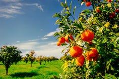 Branch orange tree. Stock Photography