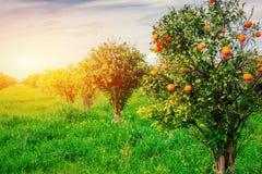 Branch orange tree. Royalty Free Stock Photography