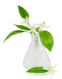 Branch of an orange tree with flowers. Blossoming branches of an orange tree in a small vase on a white Stock Photos