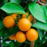 Branch orange tree fruits Royalty Free Stock Photos