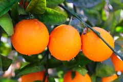 Branch orange tree fruits green leaves in Spain Royalty Free Stock Photo