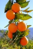 Branch orange tree fruits green leaves in Spain. Branch orange tree fruits green leaves in Valencia Spain Royalty Free Stock Image