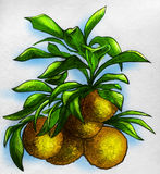 Branch of an orange tree with fruits royalty free stock photography