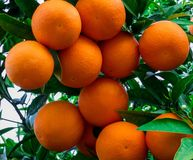 Branch of orange tree wit fruits in the garden.  stock photos