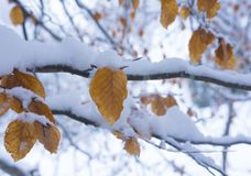 Branch with orange and yellow leaves in fall or winter under the snow. Royalty Free Stock Images