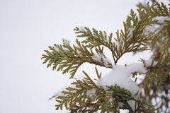 Branch with orange yellow and light green leaves in early winter under the snow First snow close-up Yellow branch on white. Isolated background royalty free stock image