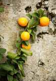 Branch with oranges Stock Photography