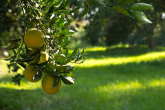 Branch with oranges in a  garden Stock Photography