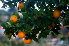 Branch with oranges. Branch orange tree with fruits Stock Photo