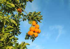 Branch with oranges on an orange tree. 