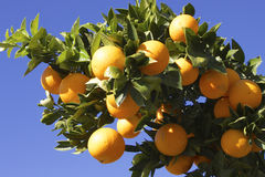 Branch with oranges and sky Royalty Free Stock Image