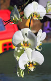Branch of an orchid. Royalty Free Stock Image