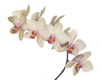 Branch of orchid Stock Photo