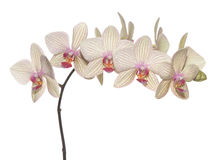 Branch of orchid stock image