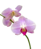 Branch orchid close up Royalty Free Stock Images