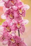 Branch of an orchid Royalty Free Stock Photos