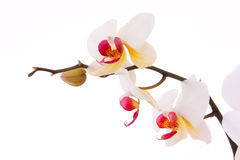 Branch of orchid flowers Royalty Free Stock Images