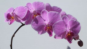 A branch of orchid flowers. A branch of blue orchid flowers with still budding fruits to bear royalty free stock image