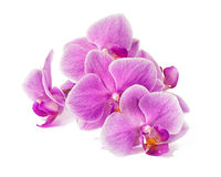 Branch of orchid flowers isolated on white Royalty Free Stock Images