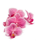 Branch of orchid flowers isolated on white. Orchid flowers branch isolated on white background with shadow Stock Photo