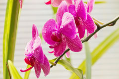 Branch Of Orchid Royalty Free Stock Photography