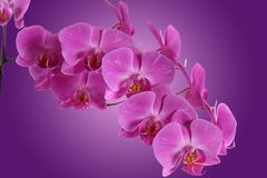 Branch orchid on purple background Stock Photos