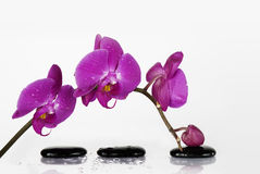 Branch orchid Stock Image