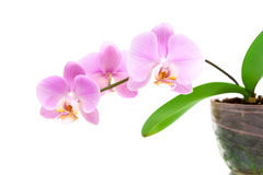 Branch orchid on a white background close-up Stock Photos