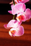Branch of orchid Stock Images