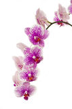 A branch of orchids Royalty Free Stock Photography