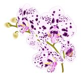Branch orchids with dots purple and white flowers Phalaenopsis tropical plant on a white background vintage vector botanical il. Lustration for design hand draw Stock Photos