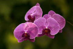 The branch of orchids Royalty Free Stock Photo
