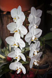 A branch of orchids with lots of white flowers with yellow tongues. In a pot, against a backdrop of a garden, close-up Royalty Free Stock Photos