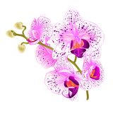 Branch orchids purple and white flowers Phalaenopsis tropical plant on a white background vintage vector botanical illustration fo. R design hand draw Stock Photo
