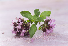 Branch of oregano Stock Photography