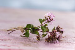Branch of oregano Royalty Free Stock Photography