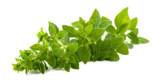 Branch of oregano isolated on white. Branch of fresh oregano isolated on white royalty free stock photo