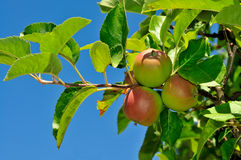 Branch of Organic Apples Royalty Free Stock Photography
