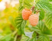 Organic ripe raspberry growing on tree in Washington, USA. Branch of organic ripe raspberry growing on tree in Washington, USA.  Juicy raspberries ready to Royalty Free Stock Photography